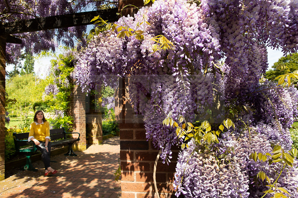 © Licensed to London News Pictures. 17/05/2018. Tamworth, UK. The sunshine and good weather has made the wisteria in the castle park in Tamworth burst into a spectacular splash of colour. Pictured, Aimee Tilsley takes a lunchtime break to admire the beautiful display. Photo credit: Dave Warren/LNP