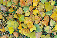 Cottowood tree leaves on the ground in autumn in Montana