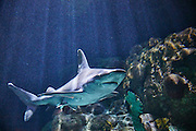 A captive sandbar shark (Carcharhinus plumbeus) swims in the Point Defiance Aquarium in Tacoma, Washington. Sandbar sharks are typically found in shallow waters of 200 feet or less in the tropical and subtropical Pacific and Atlantic oceans, Caribbean, Gulf of Mexico and Mediterranean Sea.