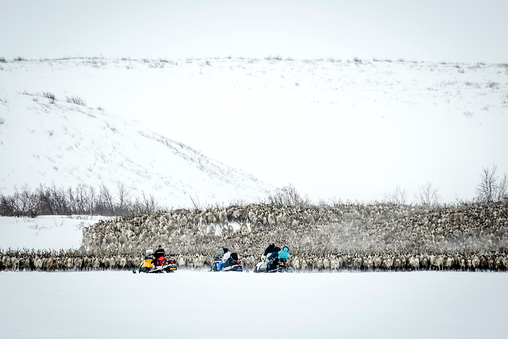 Inuvaluit herders on snowmobiles direct the reindeer towards their spring calving grounds.