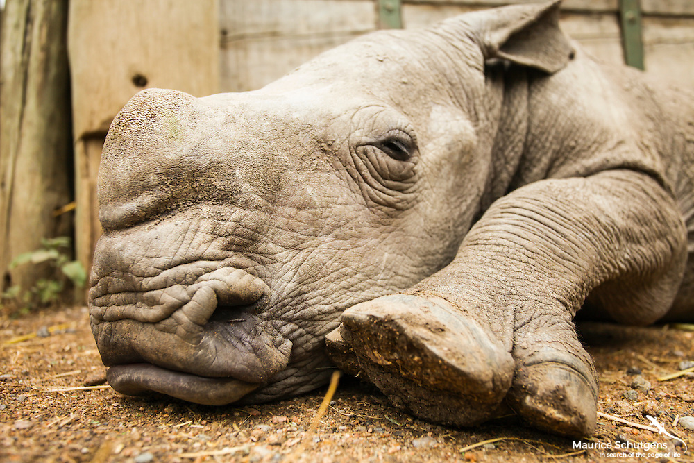 Ringo - the Southern White Rhino at Ol Pejeta Conservancy, Kenya.