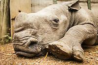 Ringo - the Southern White Rhino at Ol Pejeta Conservancy, Kenya.
