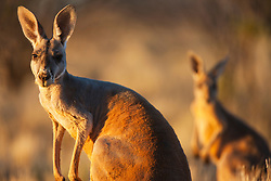 Red kangaroo (Macropus rufus)  portraits in morning light ,  Sturt Stony Desert,  Australia