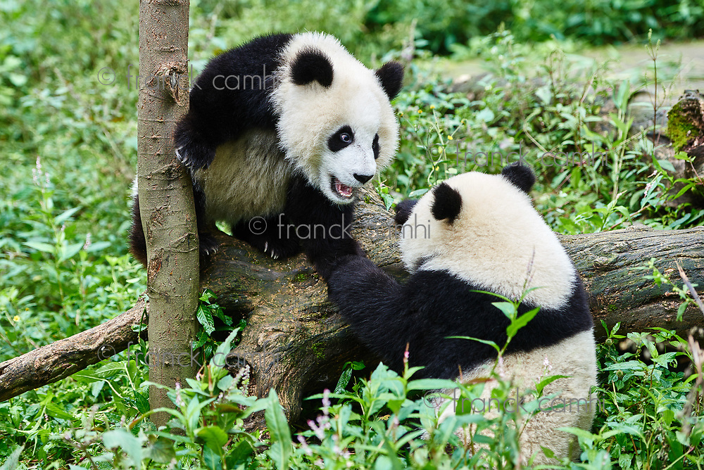 two Panda bears cubs playing Sichuan China forest