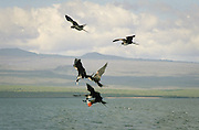 Juvenile Frigatebirds harass adult in flight, Galapagos Islands.