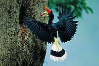 Rhinoceros Hornbill (Buceros rhinoceros) male carrying a fruit to nest.  Thailand...IUCN Red List: Near Threatened