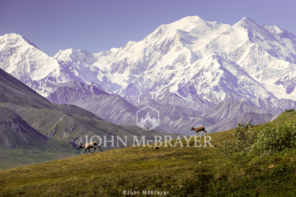 A caribou cow and calf escape across the tundra with Denali in the background.  An amazing day, as there are not many clear summer days in Denali National Park.  © John McBrayer