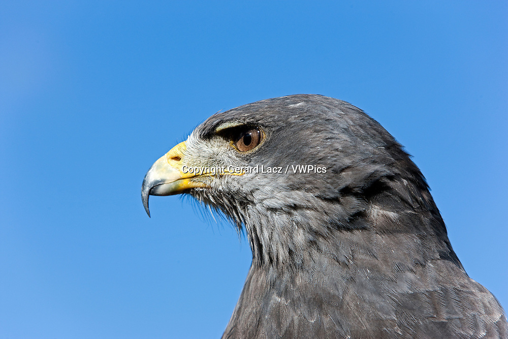 HEAD CLOSE-UP OF BLACK-CHESTED BUZZARD-EAGLE geranoaetus melanoleucus AGAINST A BLUE SKY