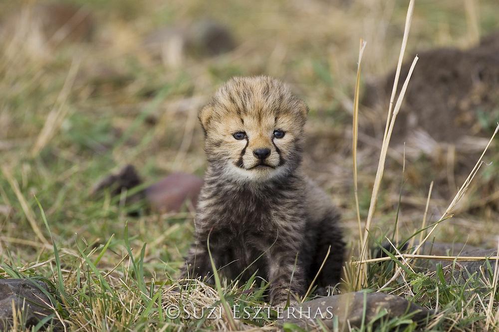 Cheetah<br /> Acinonyx jubatus<br /> 16 day old cub<br /> Maasai Mara Reserve, Kenya