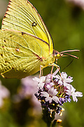 The California Dogface is the official state butterfly of California.