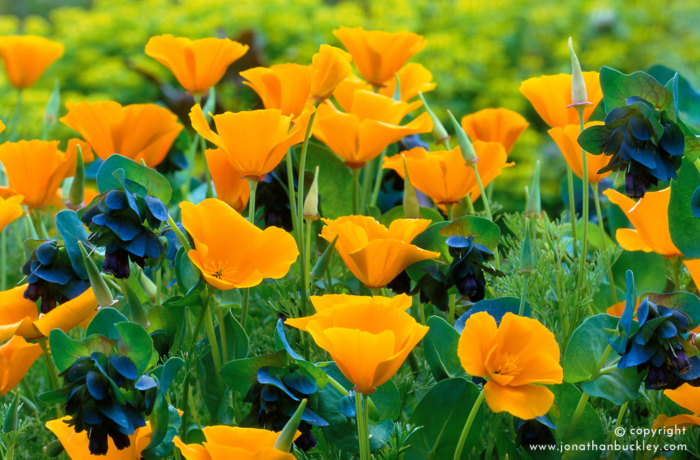 Eschscholtzia californica ( Californian poppy ) with Cerinthe major 'Purpurascens' ( Honeywort )