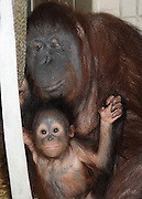 """Brookfield Zoo Orangutan Serves as Surrogate for 6-month-old Orangutan<br /> <br /> Brookfield, Ill.— A 6-month-old male orangutan is doing well in large part due to the dedicated animal care staff at Toledo Zoo, Milwaukee County Zoo, and Brookfield Zoo.<br /> <br /> Kecil (pronounced Ka-cheel, which is Indonesian for little) arrived at Brookfield Zoo on June 20 to be introduced to a surrogate mom, Maggie, the zoo's 53-year-old Bornean orangutan. Discussions among orangutan care experts from the AZA's Orangutan Species Survival Plan (SSP) and Hand Rearing/Surrogacy Advisory Group as well as the three institutions resulted in the determination that Maggie could be a good surrogate mother because of her calm demeanor and her previous success in this role. <br /> <br /> Upon his arrival at Brookfield Zoo, Kecil was given a brief physical examination and then taken to an off-exhibit area at the zoo's Tropic World exhibit to be introduced to Maggie. Since the two have been together, animal care staff have seen very positive interactions. The two engage each other in play, and the young orangutan often sleeps in the crook of Maggie's arm. He has shown interest in Maggie's food, but for now he has been sampling softer foods like bananas, and baby cereal has become a staple. In addition, Kecil comes to the front of their enclosure on his own or with Maggie's assistance to be bottle-fed, which will continue at least until he is a year old.<br /> <br /> """"Although it has been only a short time and we have a long road ahead of us, we are extremely optimistic due to Kecil and Maggie's progress so far. Maggie is an easygoing and gentle orangutan. The two have been together since Kecil's arrival, and Maggie has provided care and attention that he needs to receive from an orangutan."""" said Jay Petersen, curator of primates and carnivores for the Chicago Zoological Society, which manages Brookfield Zoo.<br /> <br /> Kecil was born on January 11, 2014, at Ohio's Toledo Zoo. His mother"""