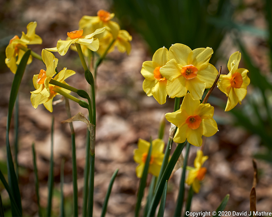 Fancy Daffodil flowers.  Image taken with a Leica CL camera and 60 mm f/2.8 lens (ISO 100, 60 mm, f/5, 1/800 sec).