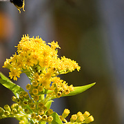 Bumblebee leaving Seaside Goldenrod