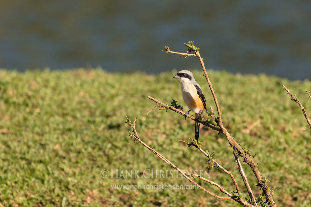 A grey-backed shrike sits on a small branch, Mudumalai National Park, India.