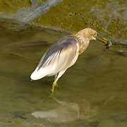 Chinese Pond Heron, Ardeola bacchus, eating a mud skipper
