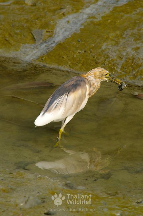 Chinese Pond Heron, Ardeola bacchus, eating a mud skipper