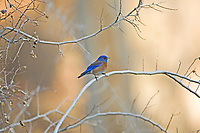 As the sun sets behind the mountains the blue colors of the male Western Bluebird stand out strong.