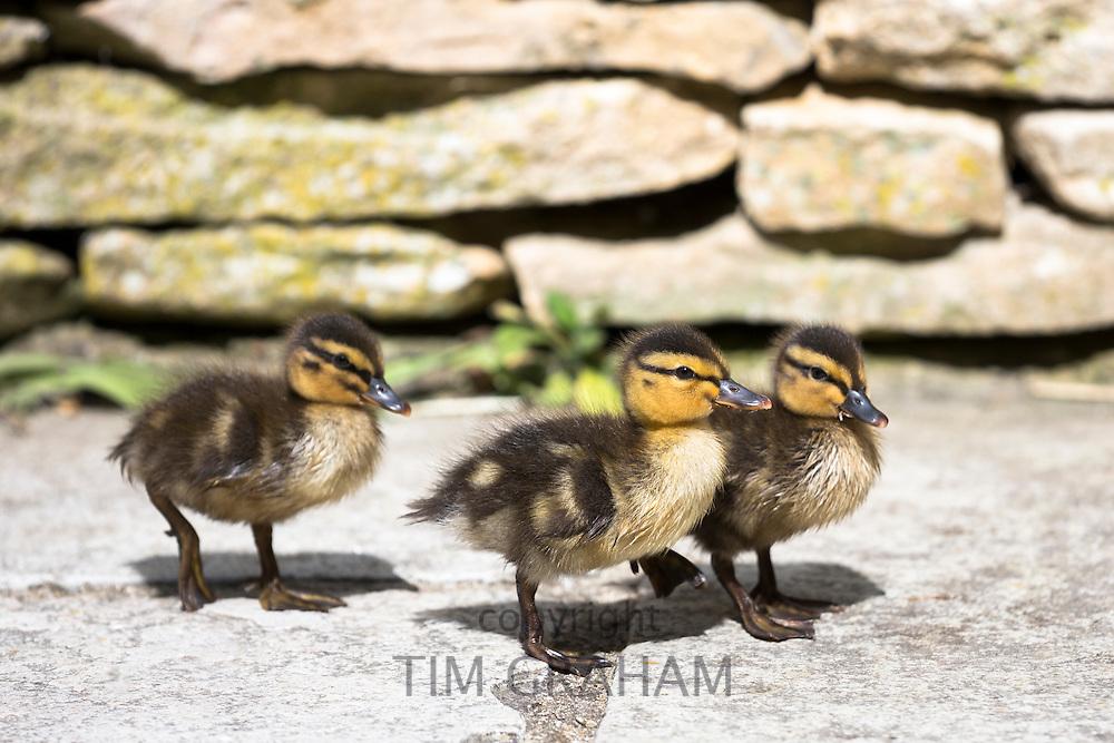 Cute fluffy newly hatched Mallard ducklings, Anas platyrhynchos, in England
