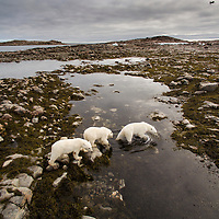 Canada, Nunavut Territory, Repulse Bay, Polar Bear (Ursus maritimus) and cubs walking along shoreline of Hudson Bay near Arctic Circle