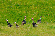 Wild turkeys on North Island  in New Zealand