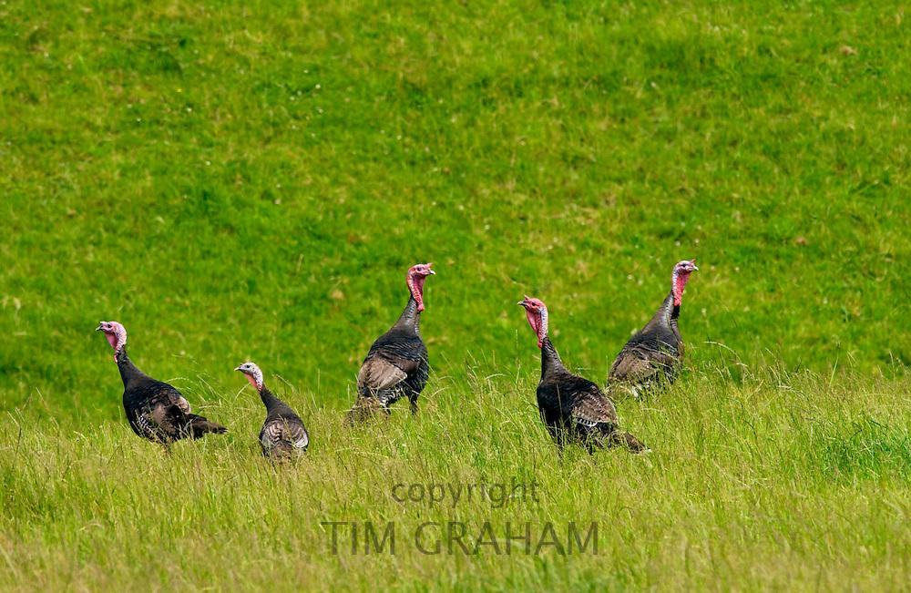 Wild turkeys on North Island  in New Zealand