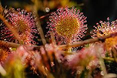 Droseraceae, Zonnedauwfamilie