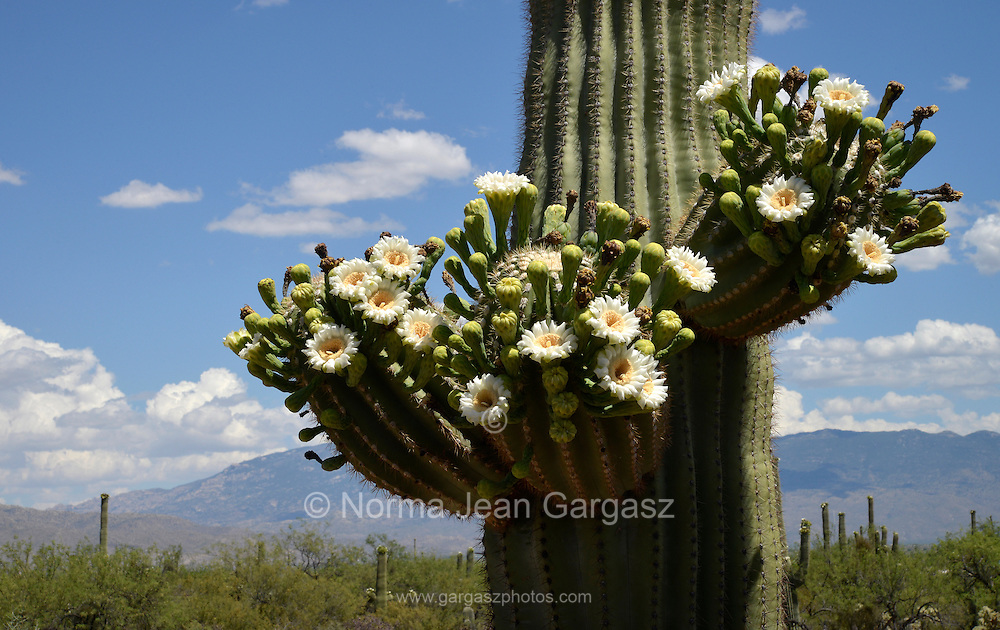 Saguaro cactus, (Carnegiea gigantea), bloom with white flowers in Sabino Canyon Recreation Area, Santa Catalina Mountains, Coronado National Forest, Sonran Desert, Tucson, Arizona, USA.