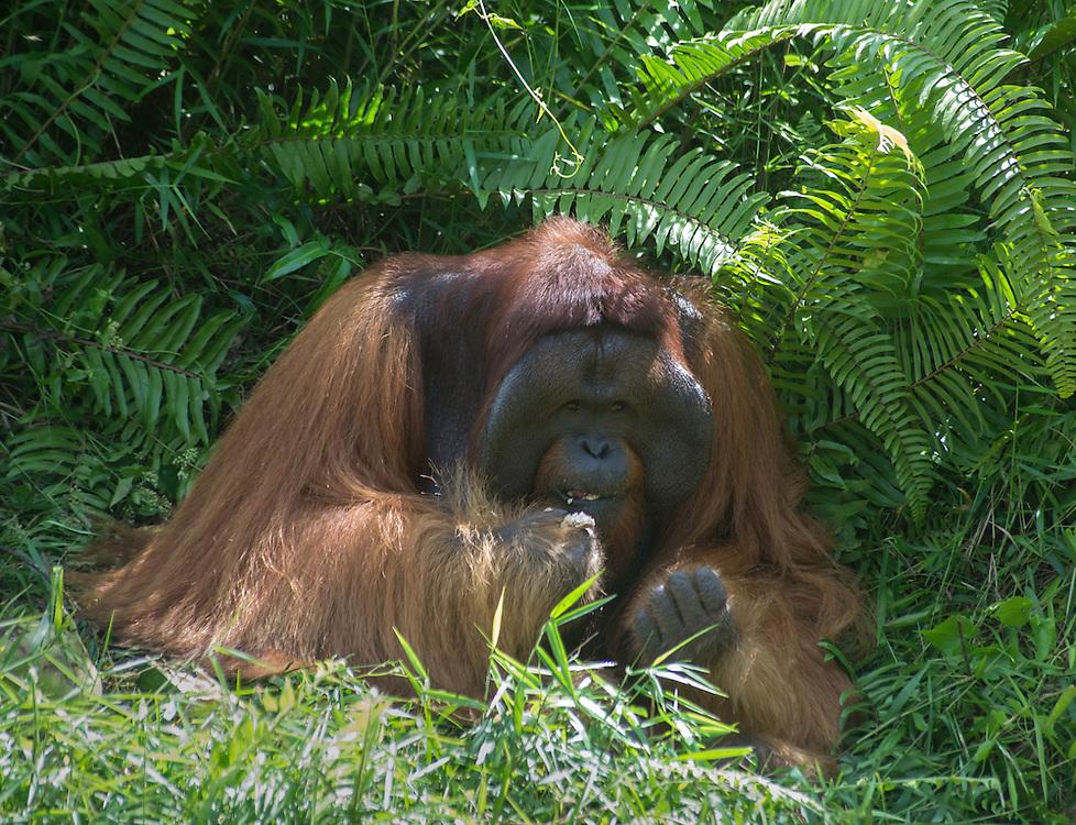 Flanged male Bornean orangutan