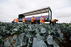 UK ENGLAND BOSTON 7SEP16 - Unidentified Romanian vegetable pickers in a field in Frampton during Broccoli harvest near the town of Boston, Lincolnshire.<br /> <br /> jre/Photo by Jiri Rezac<br /> <br /> © Jiri Rezac 2016