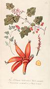 Hand painted botanical study of Solanum violaceum Ortega, Malva miniata, Sansevieria sarmentosa and Musa rosacea (Musa ornata) flowers from Fragmenta Botanica by Nikolaus Joseph Freiherr von Jacquin or Baron Nikolaus von Jacquin (printed in Vienna in 1809)