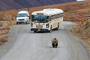 A grizzly bear walks down the park road in Denali National Park in Autumn