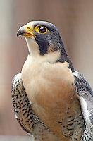 A rehabilitated peregrine falcon at the Alaska Raptor Center in Sitka, Alaska.