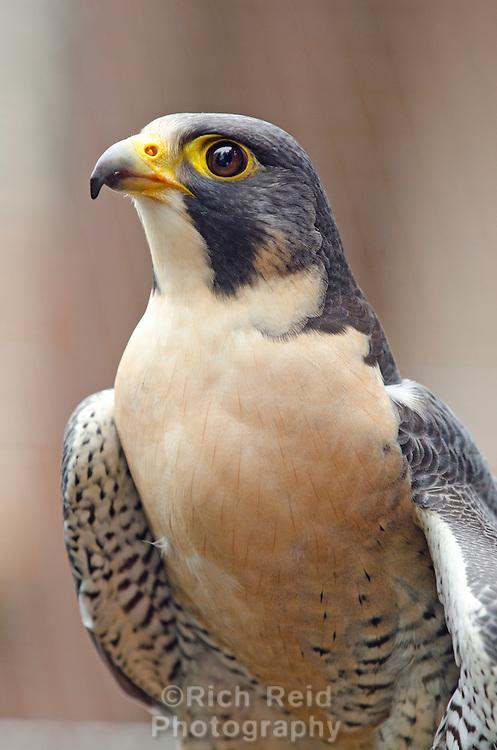 A rehabilitated peregrine falcon at the Alaska Raptor Center in Sitka, Alaska.