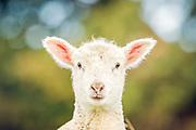 New Zealand lamb portrait