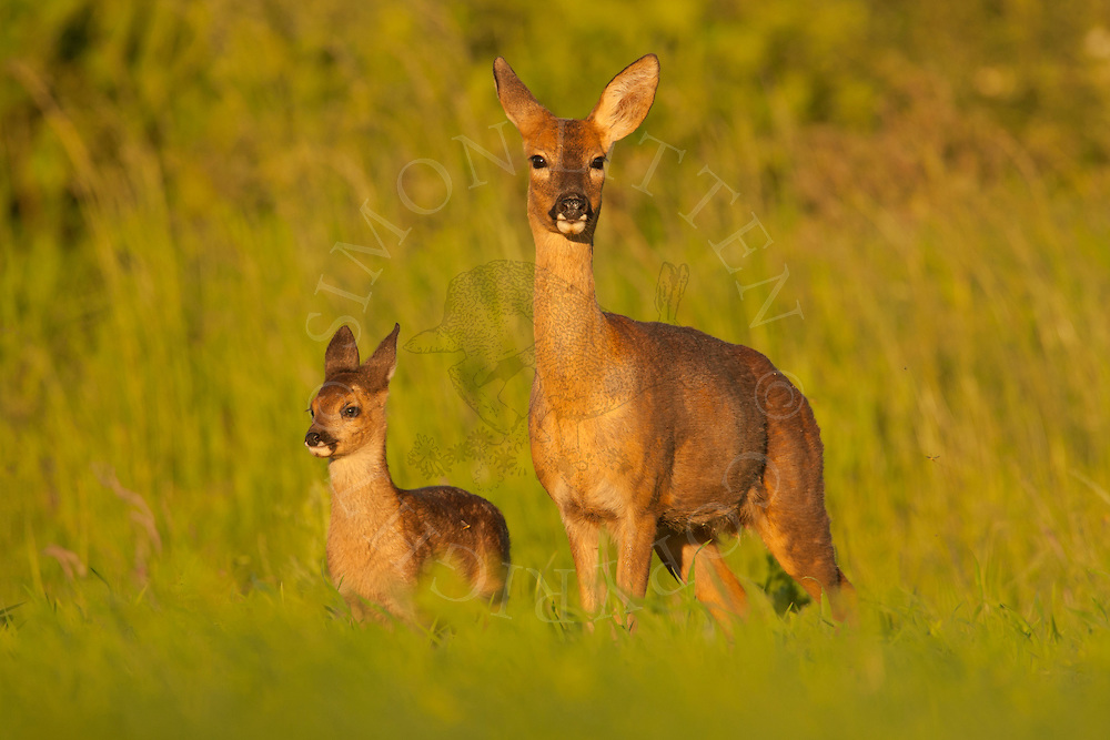Western Roe Deer (Capreolus capreolus) adult female with young, Norfolk, UK.