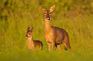 Western Roe Deer (Capreolus capreolus) adult female with young, Norfolk, UK.