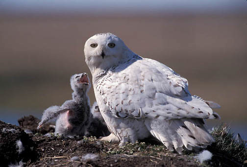 Snowy Owl (Nyctea scandiaca).Adult near nest with chicks. Barrow, Alaska. .Snowy Owl (Nyctea scandiaca).Adult near nest with chicks. Barrow, Alaska.