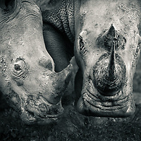 A mother and calf southern white rhino head to head