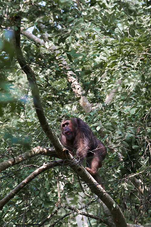 Male stump-tailed macaque (Macaca arctoides), also called the bear macaque, is a species of macaque found in Thailand and Asia.