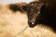 Wildlife-American Bison