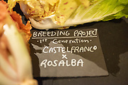 Chicory Breeding Project by Eric Budzinski of Uprising Seeds
