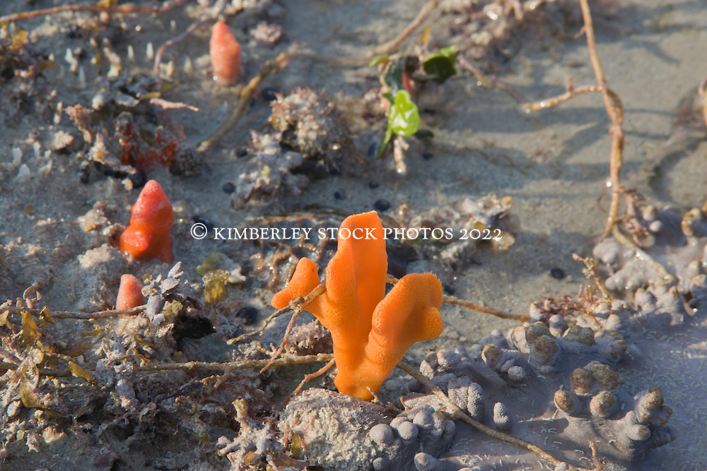 Vibrant sponges emerge at Broome's Entrance Point at low tide.