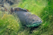 Bowfin<br />