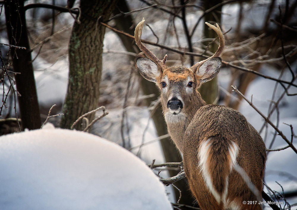 A buck deer staring down the photographer in the woods.
