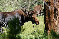 Moose in Rocky Mountain National Park, Colorado