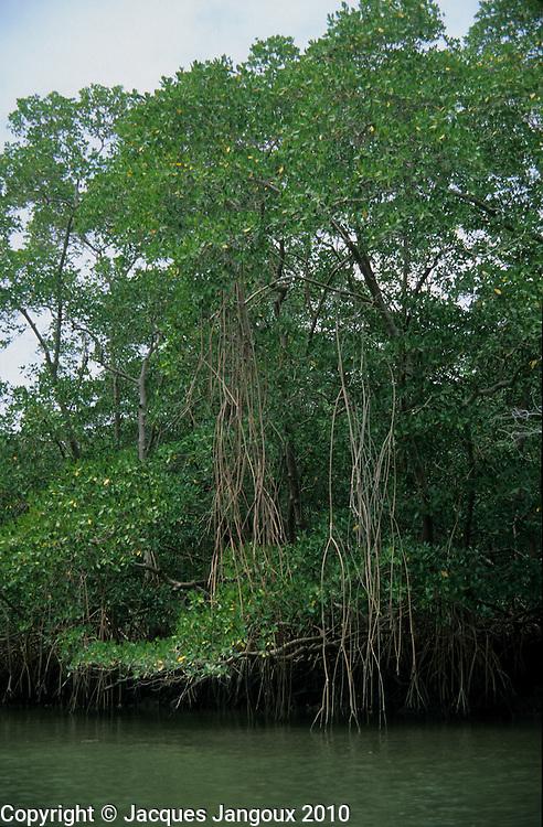 Mangrove trees Rhizophora mangle with hanging stilt roots, coastal vegetation at mouth of river, Atlantic coastal vegetation, Para, Brazil