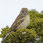 House Sparrow Female in bush,