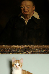 "© under license to London News Pictures. 30.11.2010. Jock the kitten sits below a portrait of Sir Winston Chrchill. A new kitten has taken up residence at 'Chartwell' the residence of the late Sir Winston Churchill. The former Prime Minister owned a marmalade coloured cat which he named Jock, after Sir Jock Colville, one of his personal secretaries. On his death, Churchill left wishes that there should always be a cat with four white paws and a white bib ""in comfortable residence"" at Charwell. The original Jock meant so much to Churchill that he attended many war time cabinet meetings with him and rumour has it that meals in the Churchill household did not commence until ginger tabby Jock was present at the table. The current Jock was rescued by The Cats Protection before being adopted by Chatwell's House and Collections Manager, Alice Martin. Picture credit should read Grant Falvey/London News Pictures"