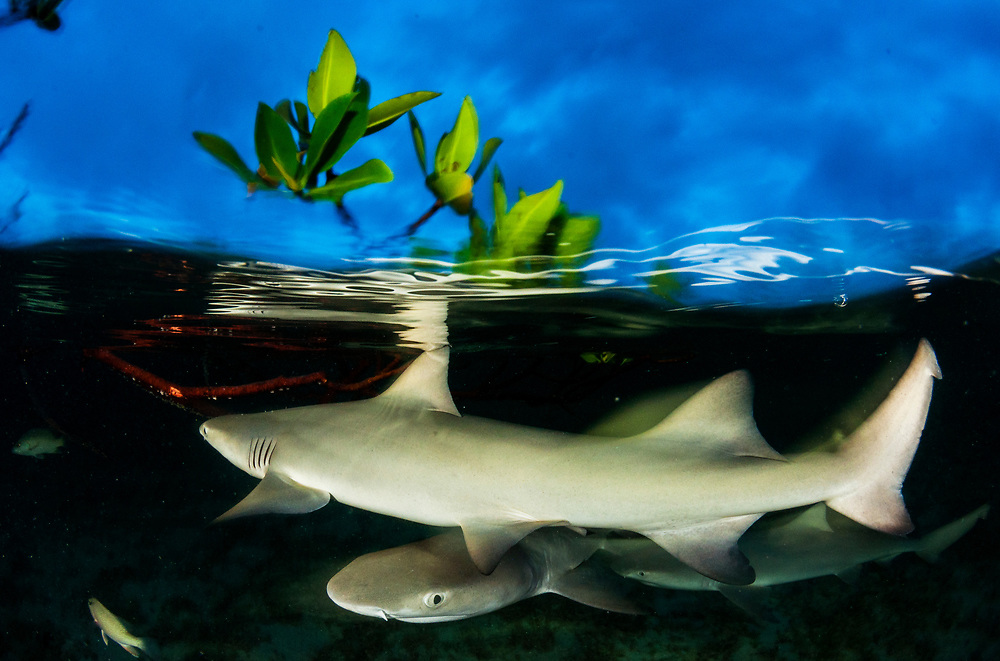 Many shark species, including these lemon shark pups, become more active hunters as the sun sets.